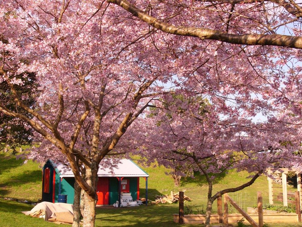 cherry blossom 002