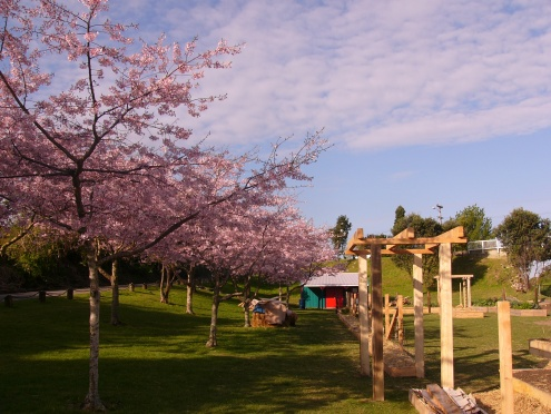 cherry blossom 004